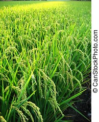 Close View of a Rice Field