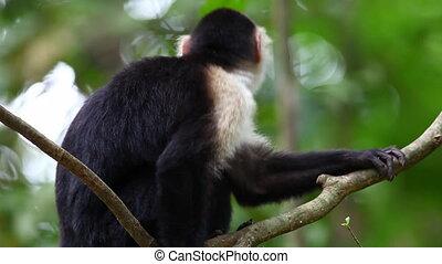 Close view of a Wild White-faced Capuchin (Cebus capucinus)...