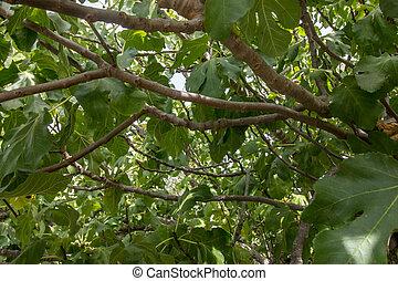 inside a fig tree