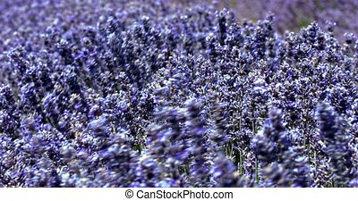 Close view of lavender blossom in Provence in France -...