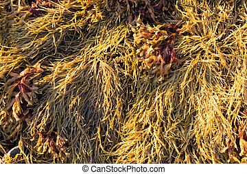 Close view of rockweed at low tide in Maine - A very close...