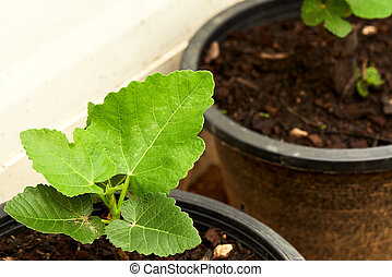Close view of some fig tree leaves in the garden