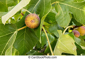 some figs on a fig tree