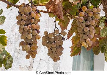 green grapes on a vineyard