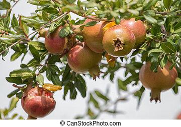 pomegranate fruits on a tree