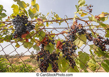 red grapes on a vineyard