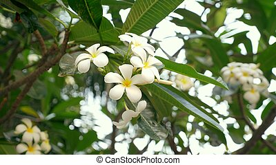 Close. white and yellow plumeria flowers on a tree in the garden