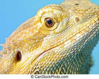 close yup shot of a bearded dragon