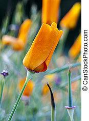 Closed Orange California Poppy With Dew Drops