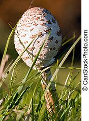 closed umbrella mushroom in the grass
