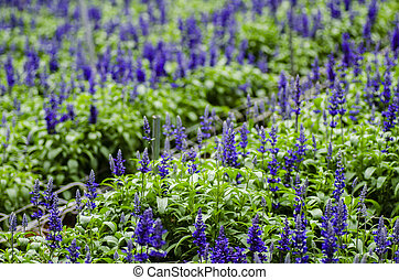 Closed up Lavender flower background in modern greenhouse with shallow depth of field