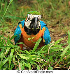 Macaw eating the glass