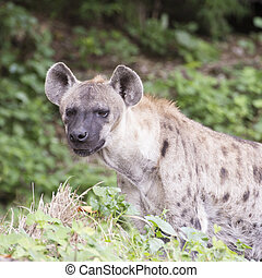 Spotted Hyena watching something