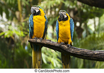 Closed Up yellow and blue Macaw