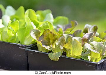closeon leaf of lettuce seedlings in a box