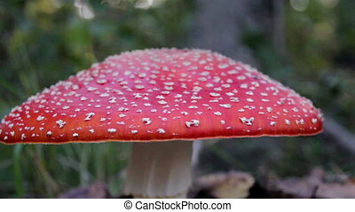 Closer image of the big Amanita Muscaria fly agaric mushroom