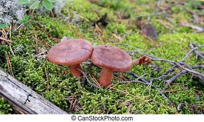 Closer image of two brown mushrooms