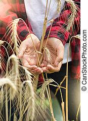 closeup , εικόνα , από , χρυσαφένιος , ώριμος , σιτάρι , αυτιά , μέσα , νέος , αγρότες , ανάμιξη