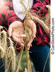 closeup , φωτογραφία , από , γυναίκα , γεωργόs , κράτημα , ώριμος , σιτάρι , μέσα , ανάμιξη