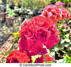 closeup, 在中, 天竺葵, 在中, a, 花园, 联合国, hdr