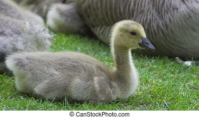 Ultra high definition closeup 4k video of cute baby Canada Goose gosling sitting and resting on green grass with family spring season UHD 3840x2160