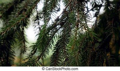 Closeup 4k video of beautiful green needles on fir tree ...