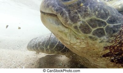 Closeup 4k video of big green turtle biting and eating sea ...
