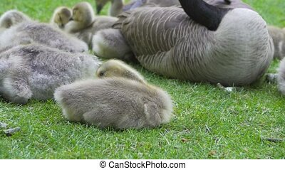 Closeup 4k video of Canada Goose with goslings resting on green grass springtime