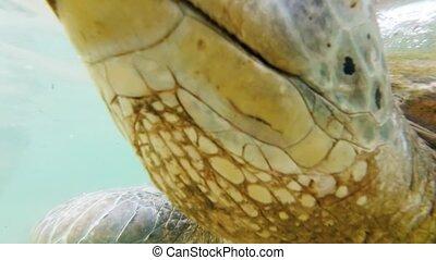 Closeup 4k footage of green turtle eyes swimming in the ocean