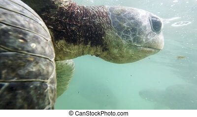 Closeup 4k footage of green turtle head swimming in ocean at shore