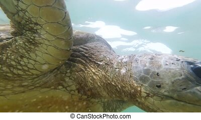 Closeup 4k footage of old green turtle swimming in Indian ocean