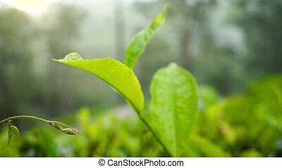 Closeup 4k video of raining on highland tea plantation at ...