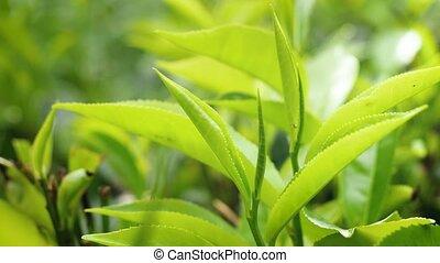 Closeup 4k video of top fresh green tea leaves growing on te...