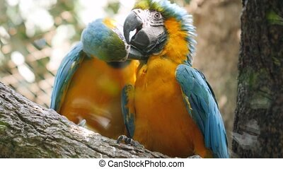 Closeup 4k video of two loving macaw parrots kissing while ...