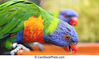 Closeup 4k video of two rainbow parrots eating seeds and ...