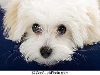 closeup, afbeelding, van, een, bichon, schattig, eyes
