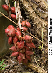 Closeup and Selective Focus of salacca,salak plant,fruit on...