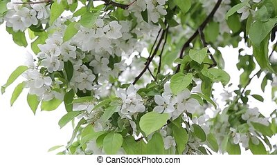 closeup, april, flowers on an apple tree Ukraine