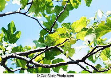 closeup, arbre fruitier, figue