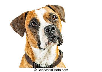 Closeup Attentive Boxer Dog on White - Portrait Boxer...