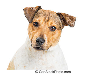Closeup Attentive Heeler Crossbreed Dog on White - Closeup...
