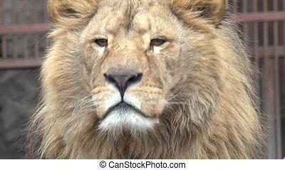 closeup, attentivement, regarder, lion