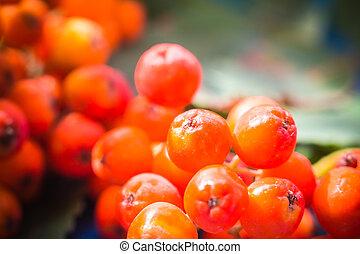 Closeup autumnal fruits rowan