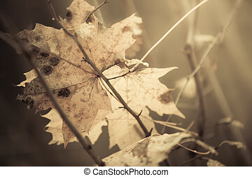 Closeup autumnal wet maple leaf in forest