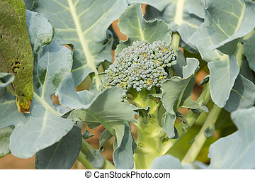 closeup baby broccoli in the garden