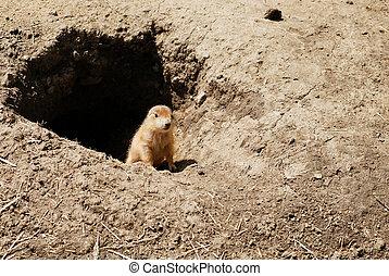 closeup baby prairie dog by his den