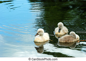 baby swans - closeup baby swans swimming