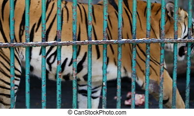 closeup bengal tiger walks behind the cage lattice