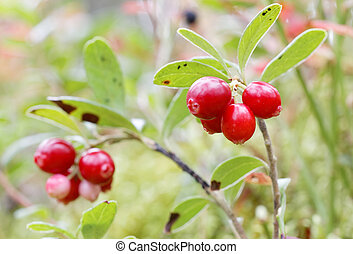 closeup, berriy, zweige, zwei, lingon