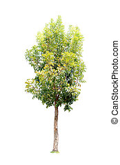 Closeup Big Mahogany Tree isolated on white background
